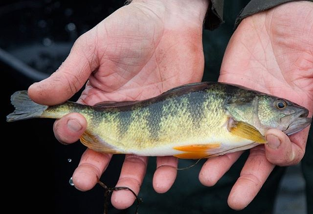 Have you gone fishing this summer? Writer Tony Bresnen from ODNR shared tips in our summer issue for fishing for yellow perch on Lake Erie. Read the full story at ediblecolumbus.com and let us know what you're catching as these last few days of summer wind down.  Photo: Tim Daniels