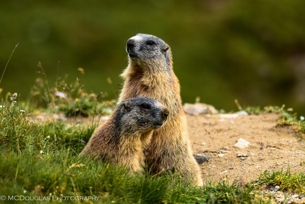 2 Marmots