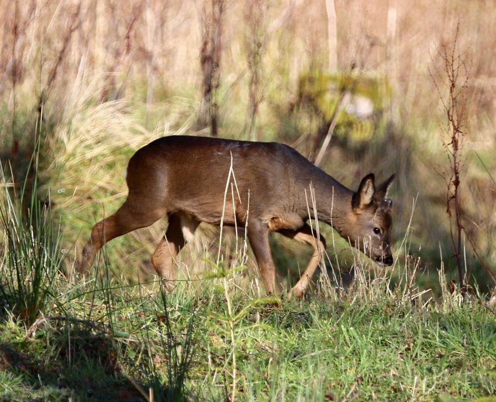 Hoscote Roe Deer 004.jpg
