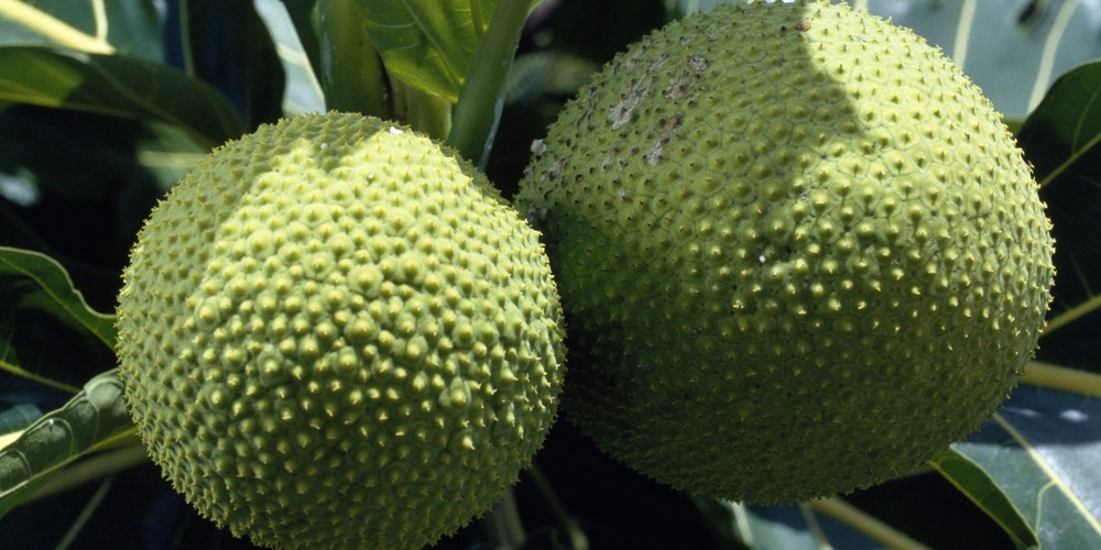 o-BREADFRUIT-facebook.jpg