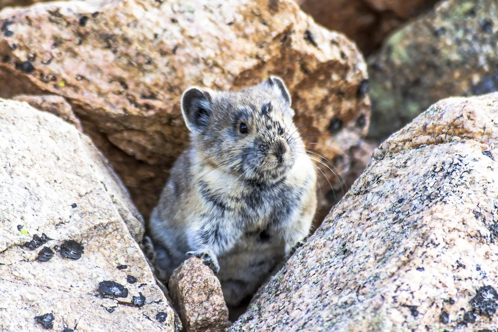 The American Pika    Fine Art Framed $475