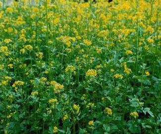 yellow mustard plant