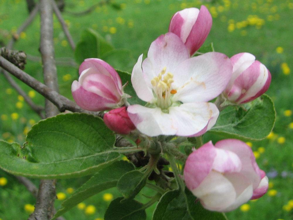 apple_blossom_precocious.jpg