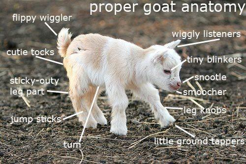 goatanatomy