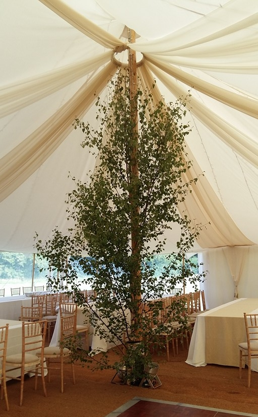 Silver Birch Trees are a very popular alternative to floral decorations in marquees and other wedding venues.  The Birch tree branches create a light and natural feel to any tent or venue, and can be cut to any size required.  They also look spectacular with uplighters at night.
