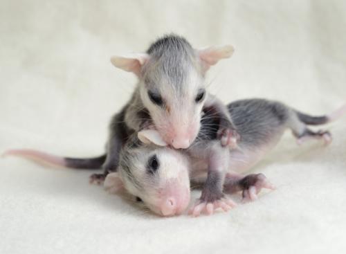 Baby opposums, c. Traer Scott