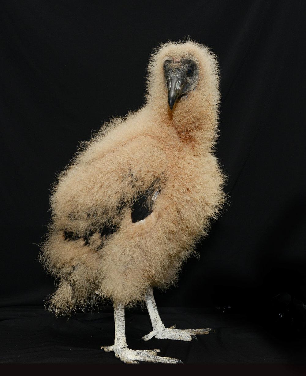 Black Vulture Baby 3.jpg