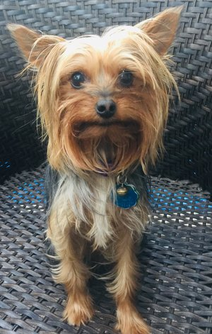 Minnie the Therapy Yorkie
