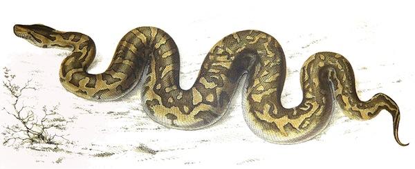 Python_natalensis_Smith_1840