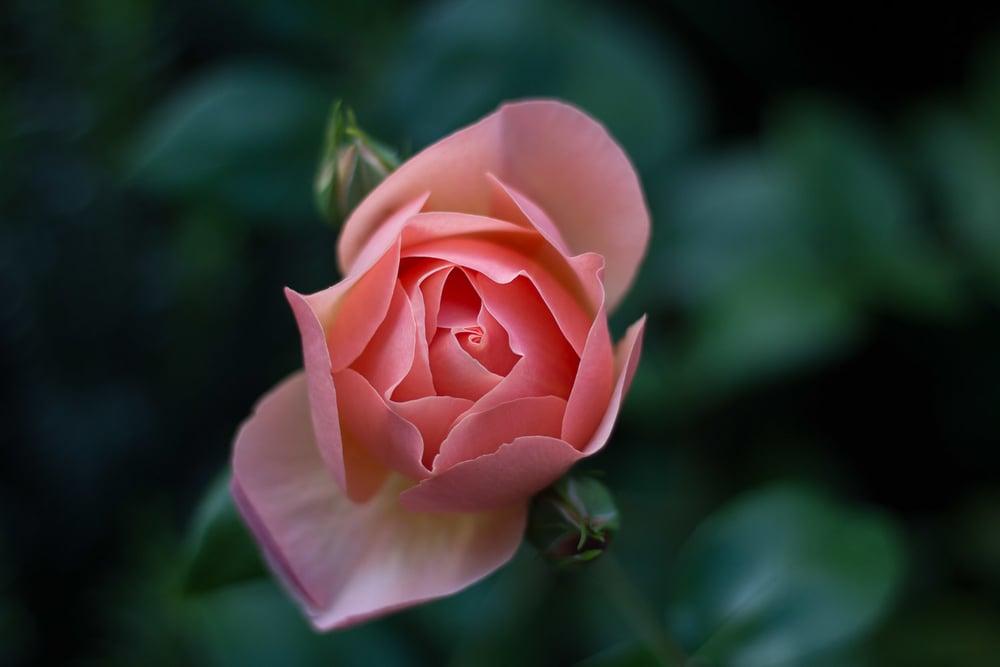 roses - portfolio (1 of 1).jpg