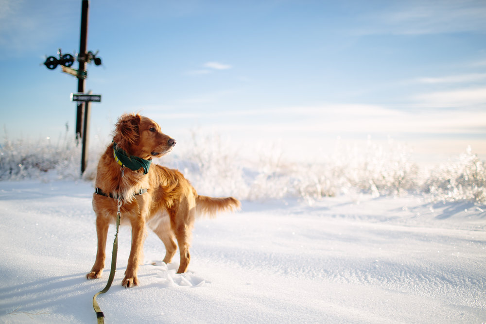 My intrepid companion, our 3-year-old golden retriever, Solstice.