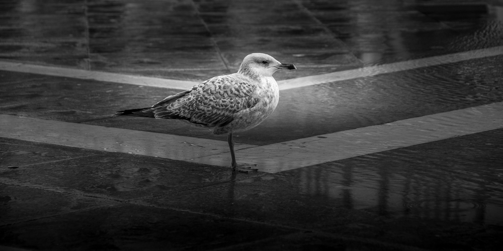 Seagull On St Mark´s Square Venice