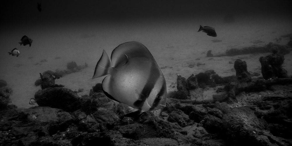 The Batfish From Puerto Galera In Black And White