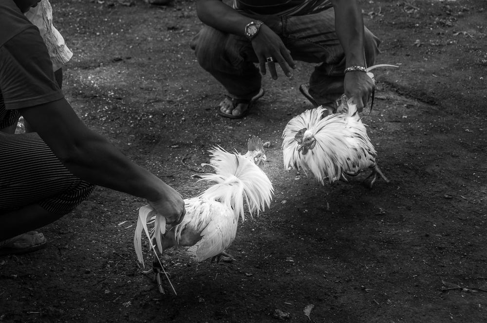 Hahnenkanpf - Cockfight - Philippinen - Philippines