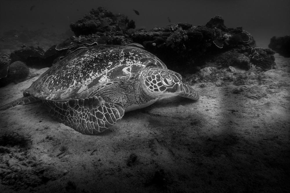 Echte Karettschildkröte (Eretmochelys imbricata) - Hawksbill Sea Turtle