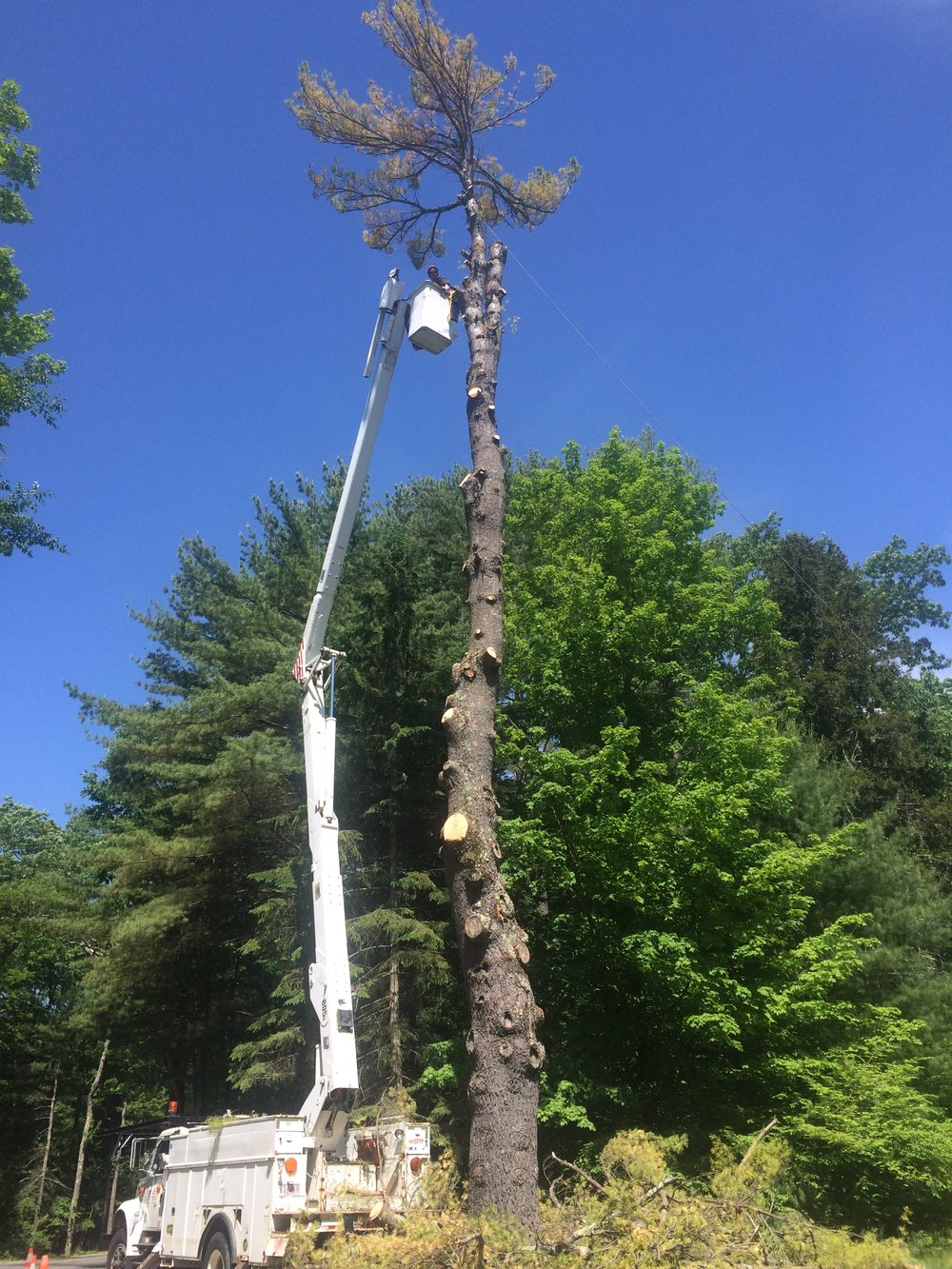 taking down a tall pine in Wendell