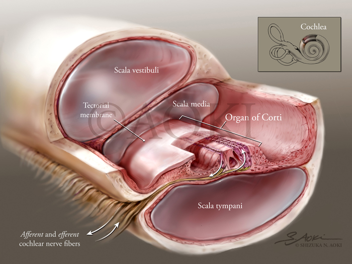 Organ of Corti in Situ (Cochlea)  showing successive layers of structure (with focus on tympanic membrane over stereocilia). Medium: Graphite and digital  © Aoki | Anatomize Medical Media Inc.