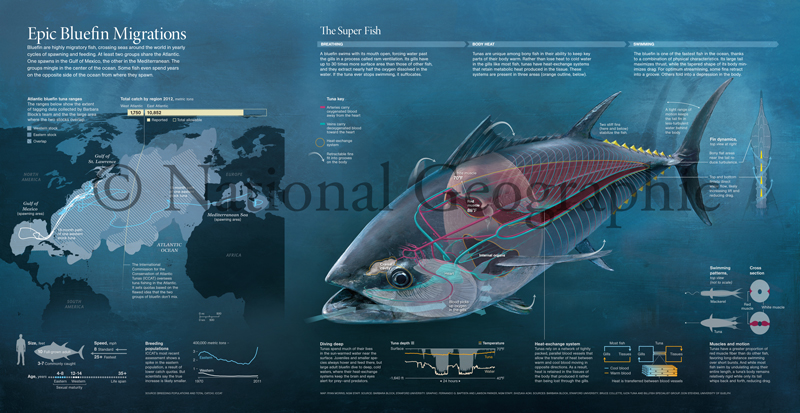 Anatomy and Physiology of Atlantic Bluefin Tuna (Thunnus thynnus) - National Geographic Magazine (centerfold) Collaboration with Lead Scientific Illustrator, Fernando Baptista Illustration describes unique bloodflow in Bluefin Tuna that causes warm-bloodedness Medium: Graphite and digital © National Geographic Magazine