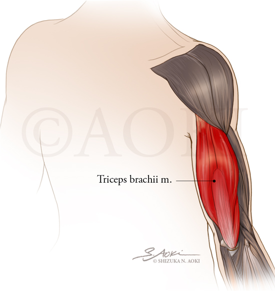 Muscles of the Upper Extremity - Triceps brachia m. highlighted Medium: Graphite and digital © Aoki | Anatomize Medical Media Inc.
