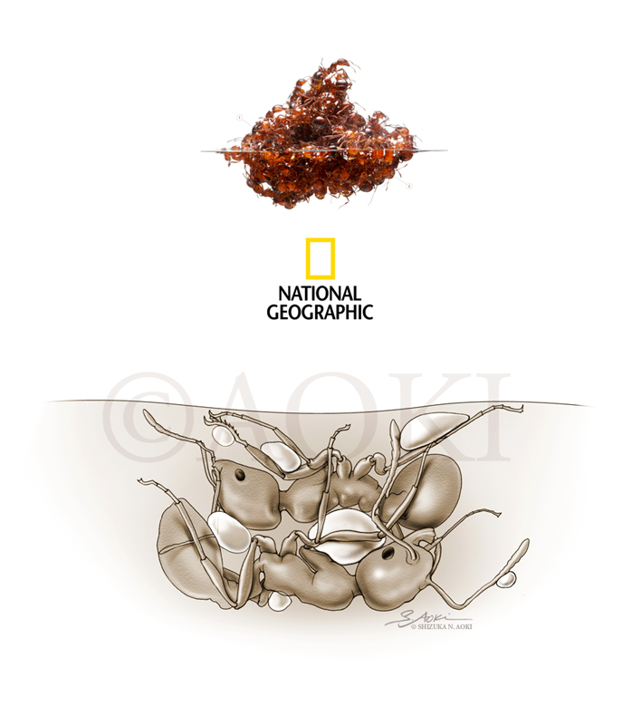 Mechanism of floating fire ant rafts (showing 'locking' of limbs and trapping of air bubbles on their bodies to keep the raft afloat)  Medium: Graphite and Digital © National Geographic Magazine