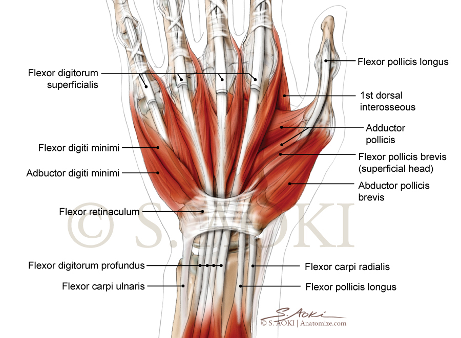Aoki_Hand_Illustration_hand-muscles-(c).jpg