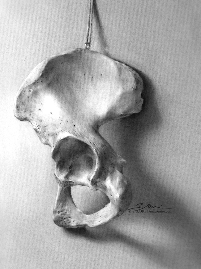 Study of Left Innominate (Hip) bone  Medium: Graphite and Carbon dust © Aoki | Anatomize Medical Media Inc.