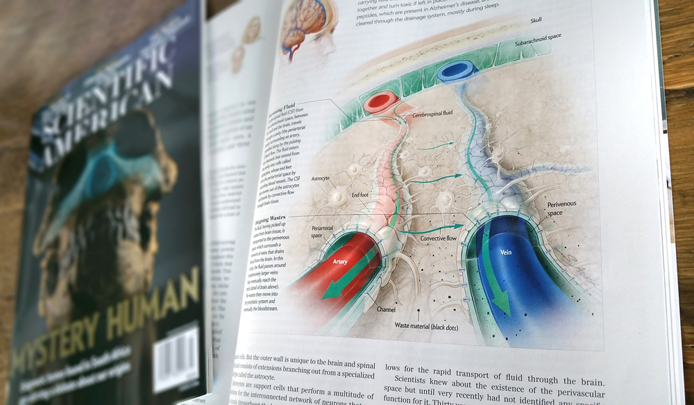 """Featured in Scientific American Magazine! Fascinating story about the brain's """"glymphatic"""" system and its implications on sleep and diseases such as Alzheimer's.Check out the full story in the March 2016 issue!"""
