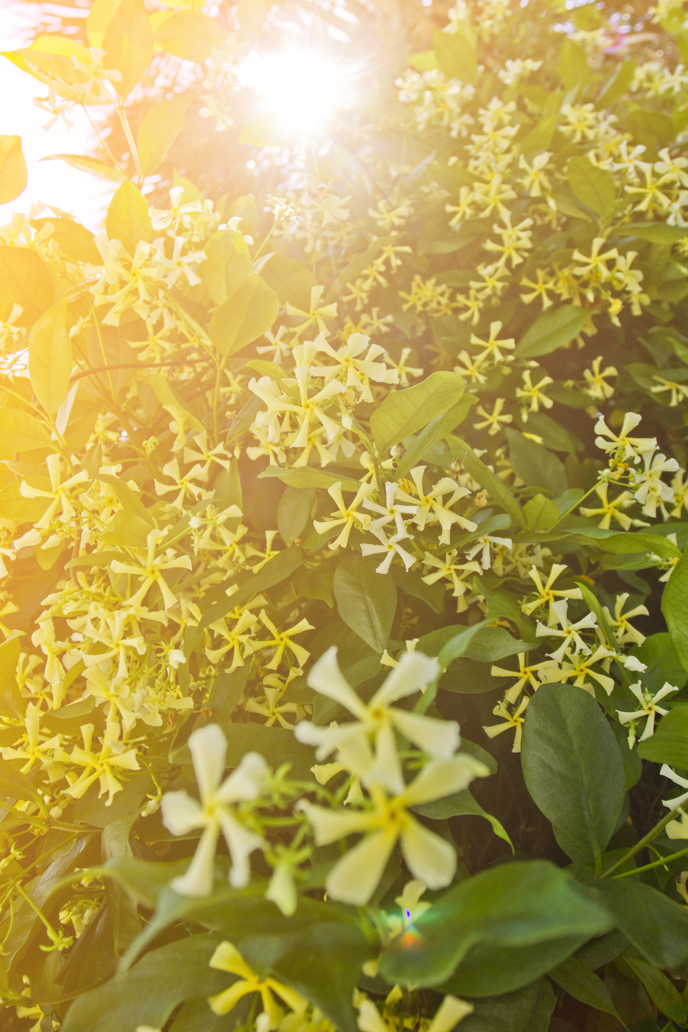 After a day and a half of the intoxicating aroma, I was finally able to ask a local what the flowery bush was that emanated the fragrance. Confederate Jasmine.