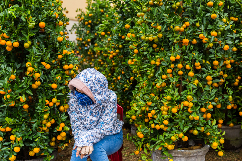 Kumquat Trees, a symbol of wealth for the new year.