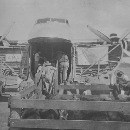 Loading stud cattle into A.N.A. Freighter at Fossil Downs, 2 May 1951