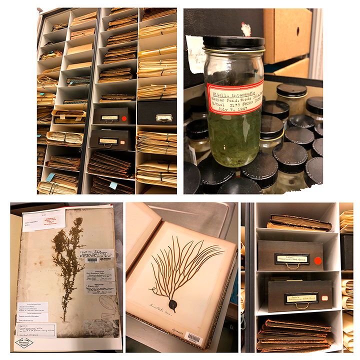 Algae specimens dating back to the early 19th century.