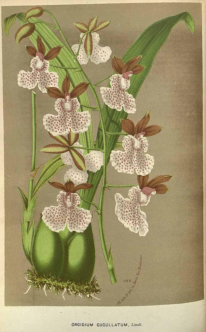 nemfrog :     Caucaea olivacea (Kunth). Houtte, L. van, Flore des serres et des jardin de l'Europe [L. van Houtte], vol. 23: t. 0 (1845)