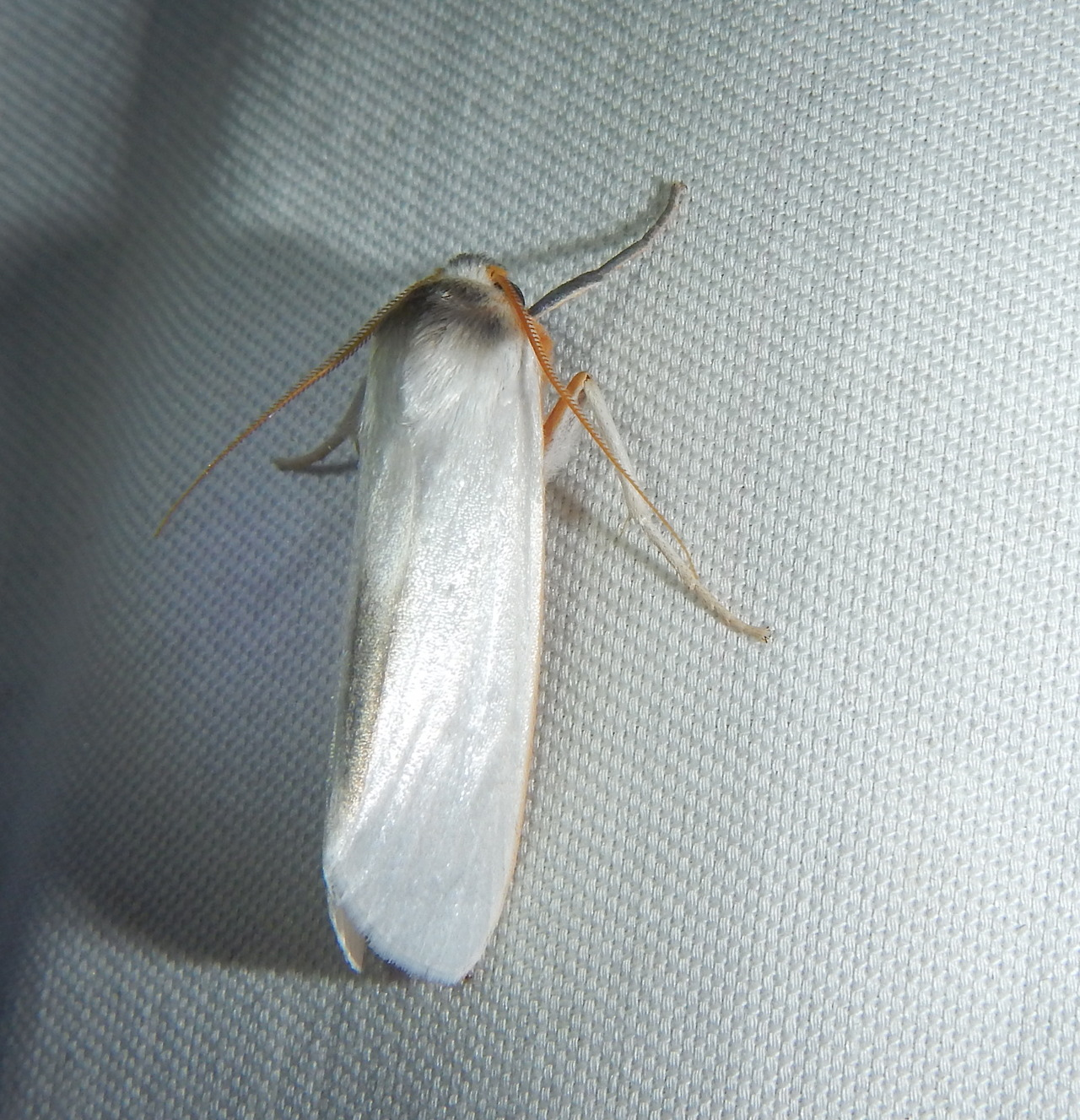 buggirl :     Subtle moth beauty of the day.   Tiputini, Ecuador     give a dollar to research in The Amazon