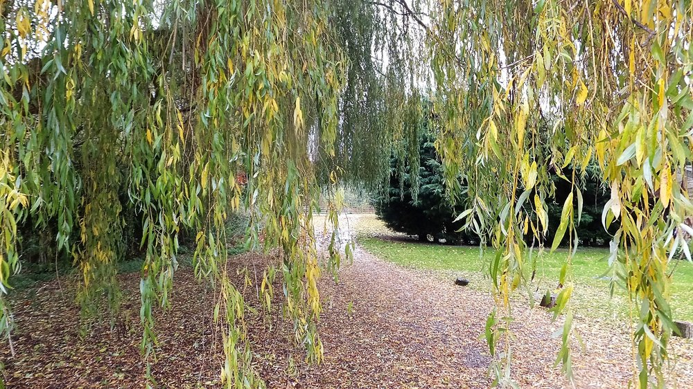 The driveway and the beautiful weeping willow tree.