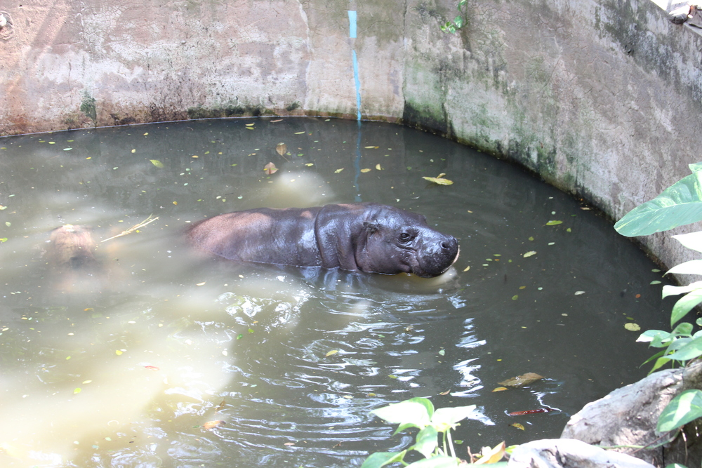 Dusit Zoo Hippo taken by Ike