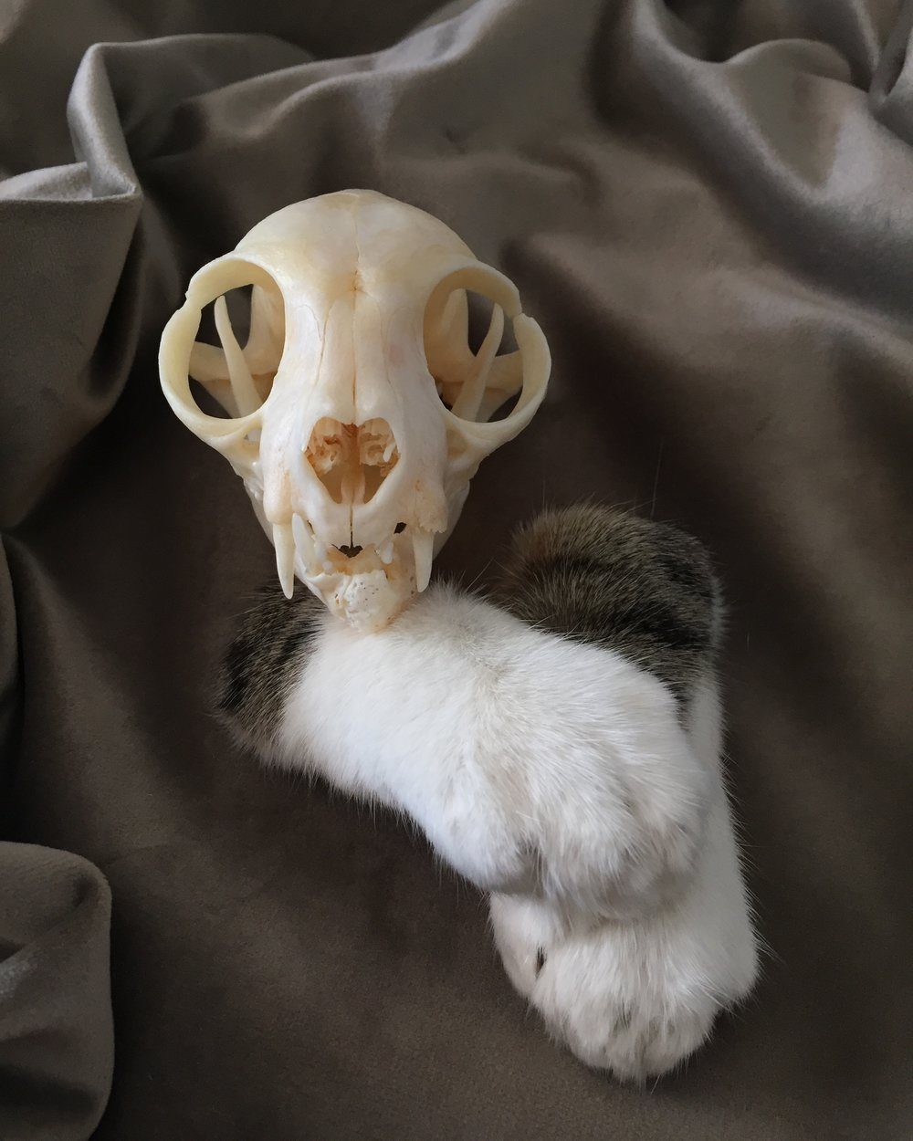 Nermal; Skull Cleaning and Paw Preservation