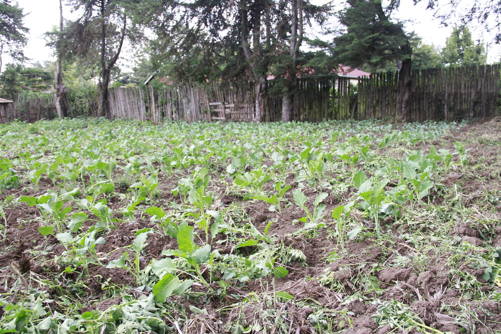 Brenda grows these vegetables in Elburgon to raise money to pay school fees for a bright child in the community