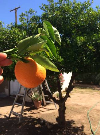 7 orange tree.png
