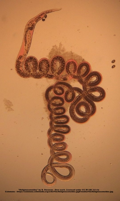 The nematode  Heligmosomoides polygyrus , which was used in this study, seen into an optical microscope. Taken from the digestive tractus of a rodent.