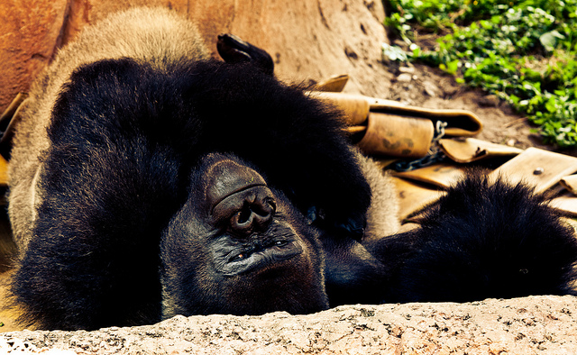 findtheapex: Silverback Gorilla on Flickr.