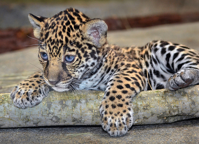 earthlynation: Cute Jaguar Alert. Photo by Stinkersmell