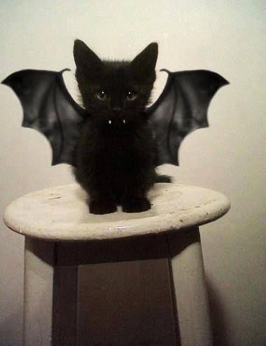 "The ""Batcat"""