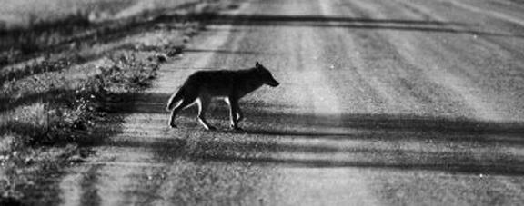 roadway coyote -- halftone.jpg