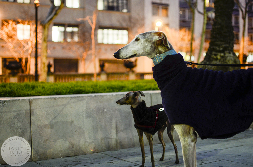 Mireia's Italian greyhound Lucca and galgo Palmete.