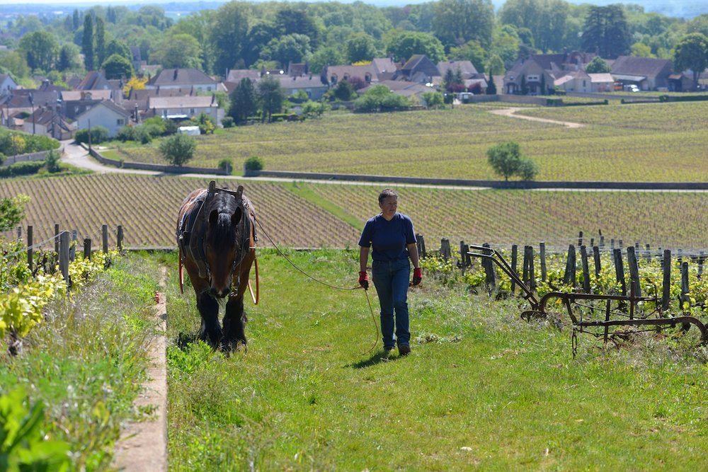 Vougeot, Burgundy in the background