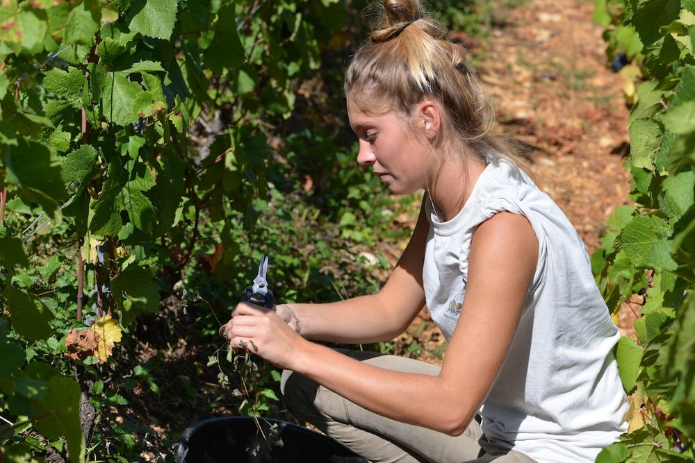 Fanny in the vines with her secateurs