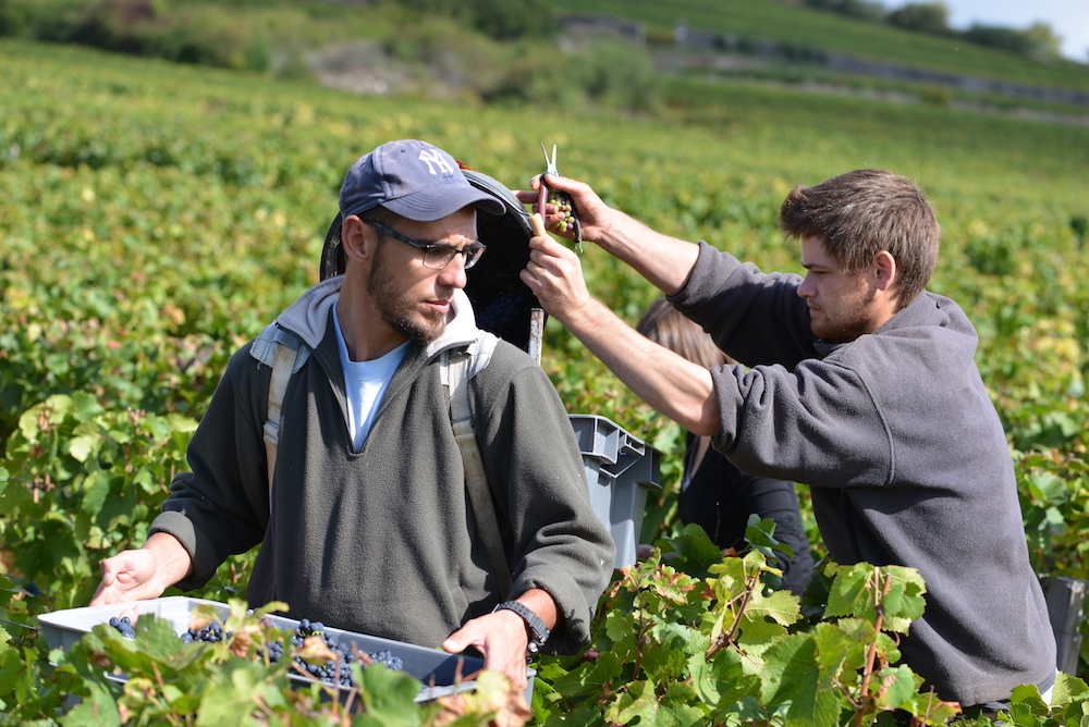 harvesting Lavaux St Jacques in Gevrey