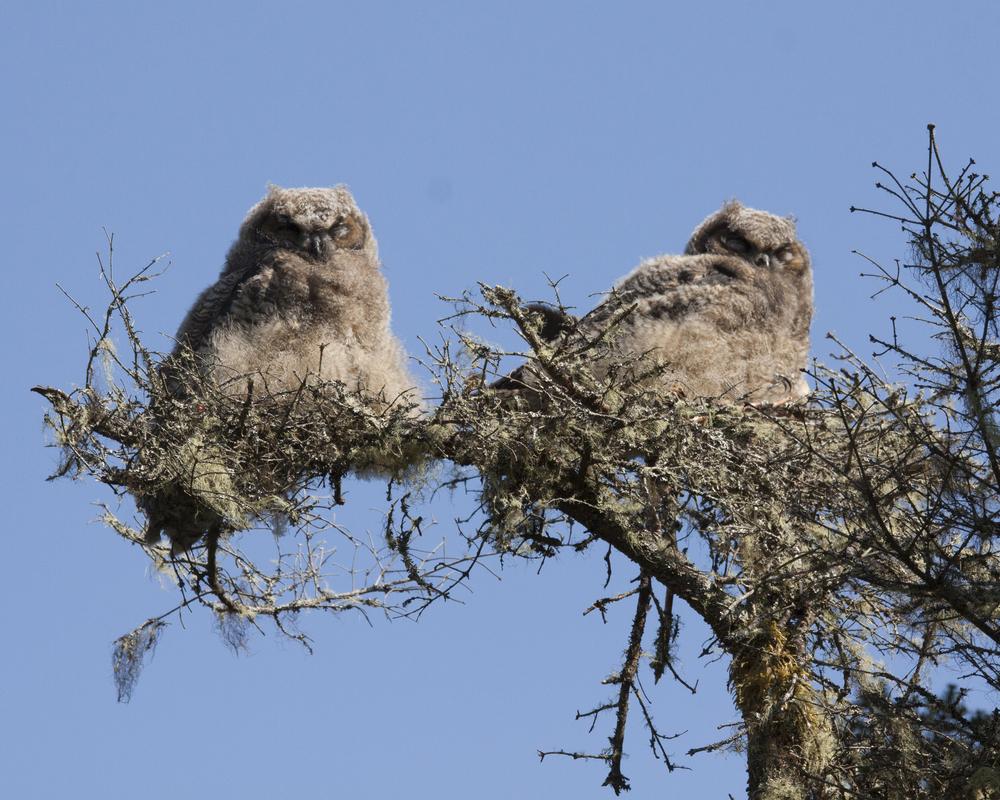 owls at taylor head Bay of Islands Images (credit Robert Moser) (3).jpg
