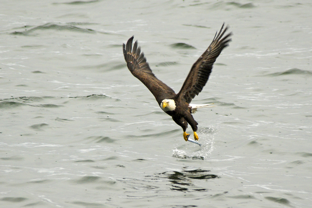 bald_eagle_fishing_.jpg