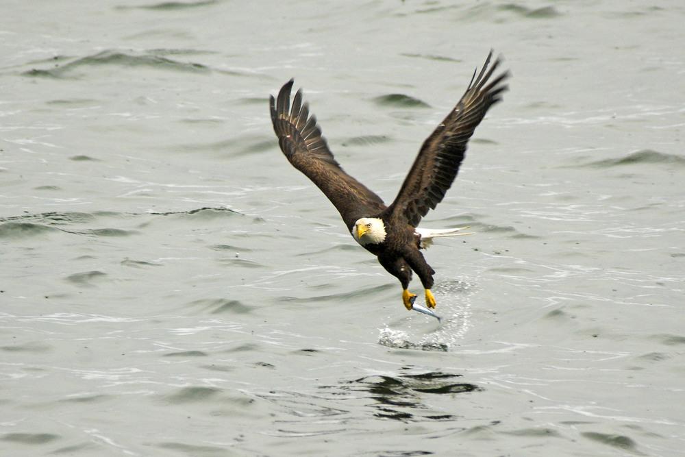 bald_eagle_fishing_.jpg